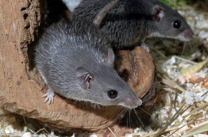Каирская мышь (Acomys cahirinus) фото