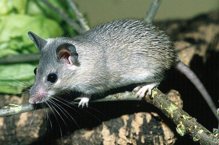 Малоазиатская иглистая мышь (Acomys cilicicus) фото