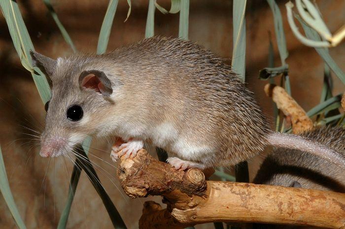 Восточная иглистая мышь (Acomys dimidiatus) фото