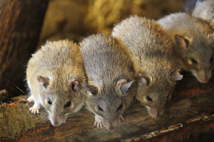 Критская иглистая мышь (Acomys minous) фото
