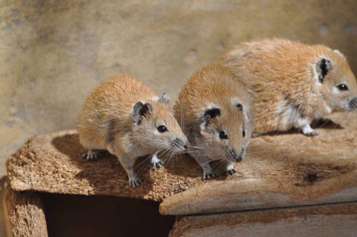 Золотистая иглистая мышь (Acomys russatus) фото