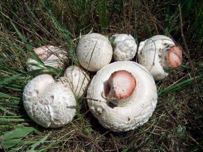 Шампиньон таблитчатый (Agaricus tabularis) фото