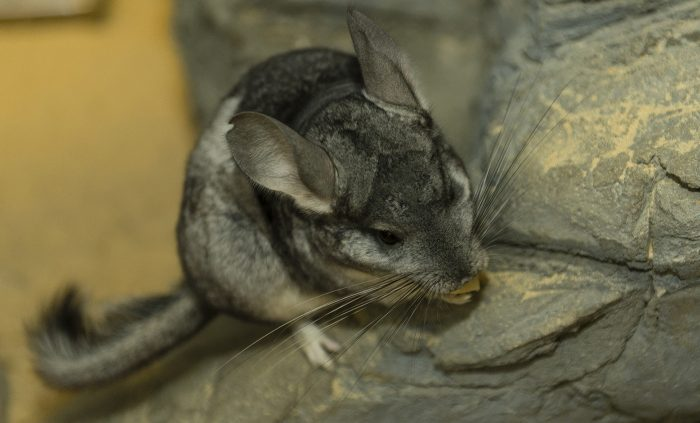 Длиннохвостая шиншилла (Chinchilla lanigera) фото