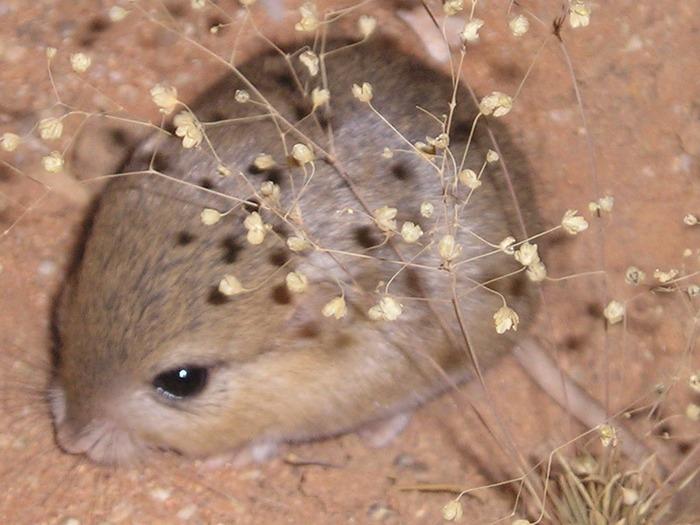 Короткоухая песчанка (Desmodillus auricularis) фото
