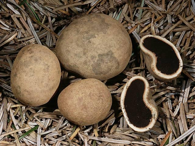 Олений трюфель (Elaphomyces granulatus) фото