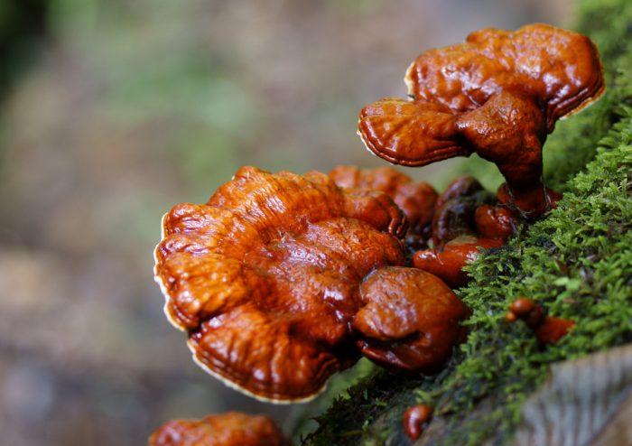 Трутовик лакированный или ганодерма лакированная (Ganoderma lucidum) фото