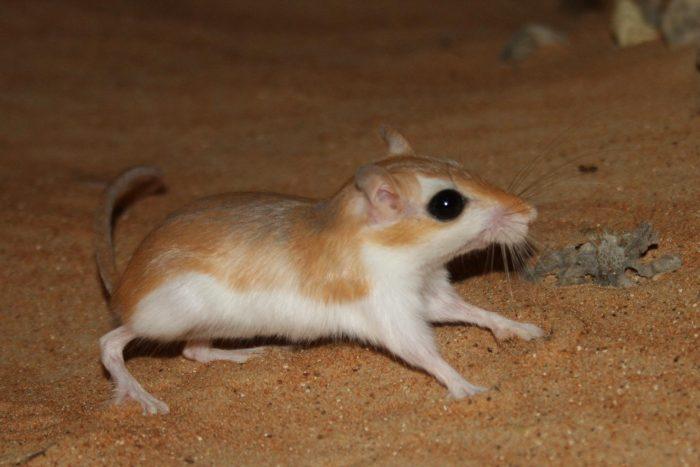 Песчанка Чизмана (Gerbillus cheesmani) фото