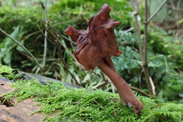 Строчок осенний (Gyromitra infula) фото