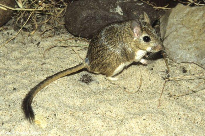 Персидская песчанка (Meriones persicus) фото