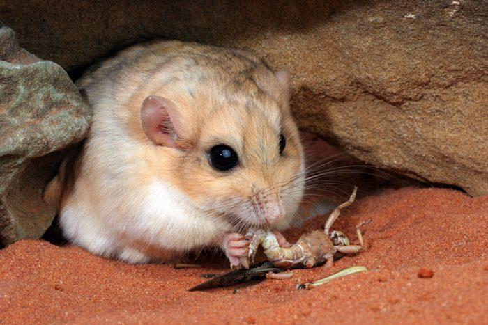 Жирнохвостая песчанка (Pachyuromys duprasi) фото