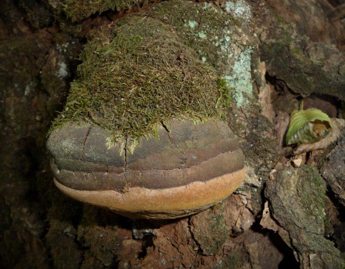 Трутовик ложный (Phellinus igniarius) фото