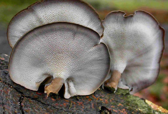 Трутовик зимний (Polyporus brumalis) фото
