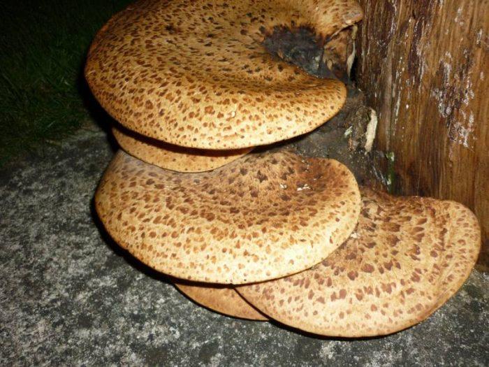 Трутовик чешуйчатый (Polýporus squamósus) фото