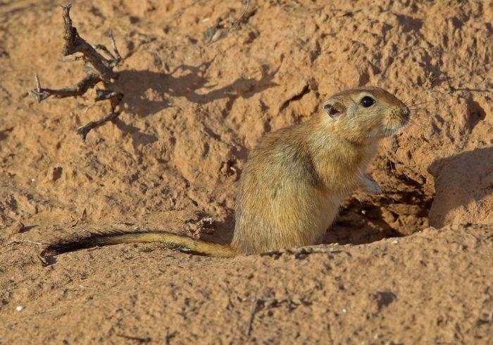 Дневная песчанка (Psammomys obesus) фото