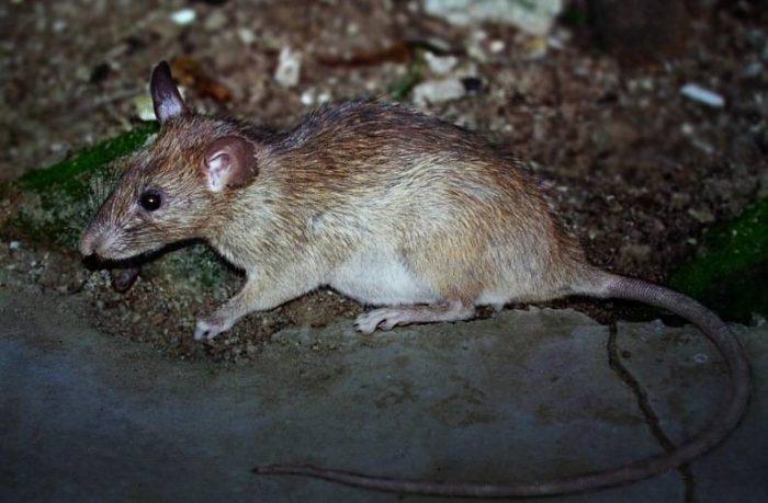 Загорелая крыса (Rattus adustus) фото