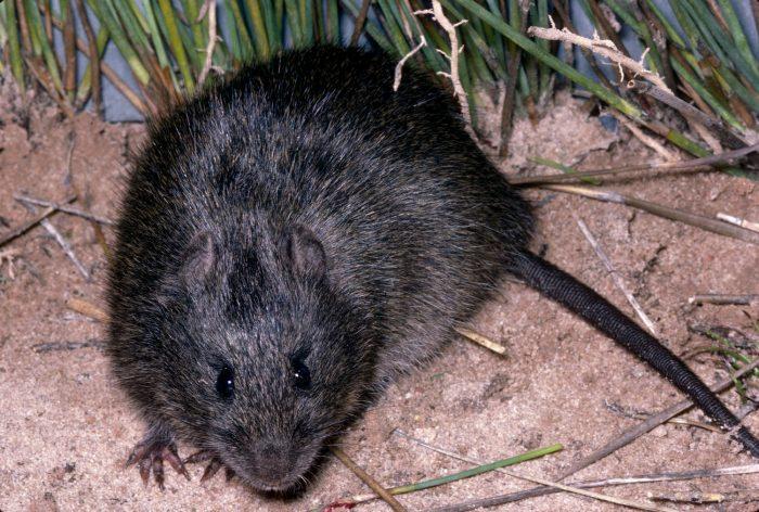 Австралийская болотная крыса (Rattus lutreolus) фото