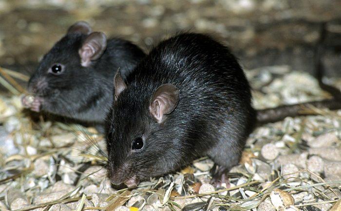 Чёрная крыса (Rattus rattus) фото