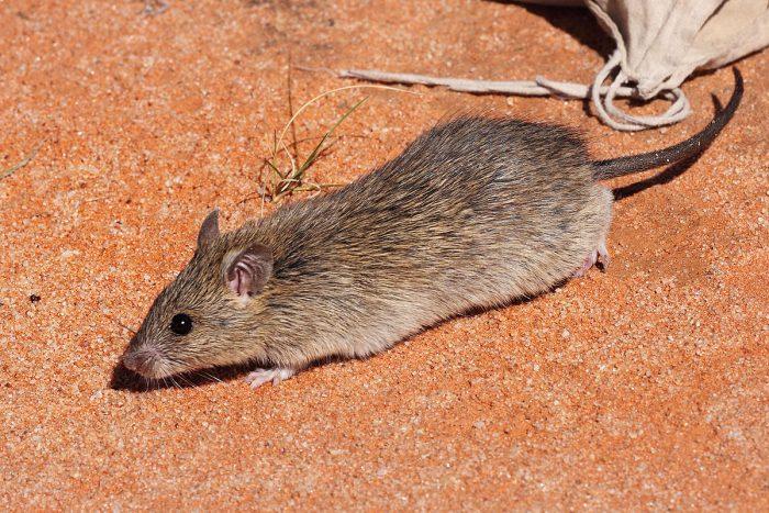 Длинноволосая крыса (Rattus villosissimus) фото