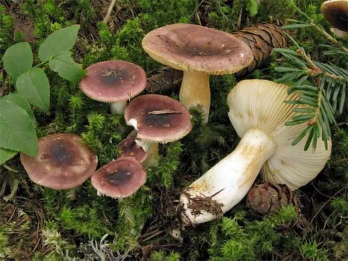 Сыроежка девичья (Rússula puelláris) фото