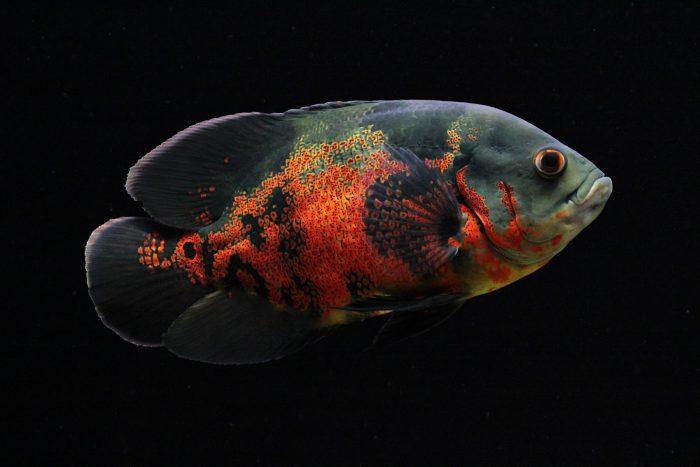 Астронотус рыба. Описание, особенности, уход и цена рыбы астронотус