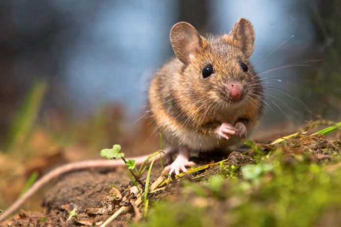 Домовая мышь фото