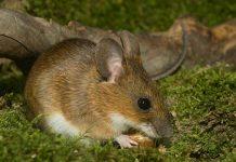 Иглистая мышь фото