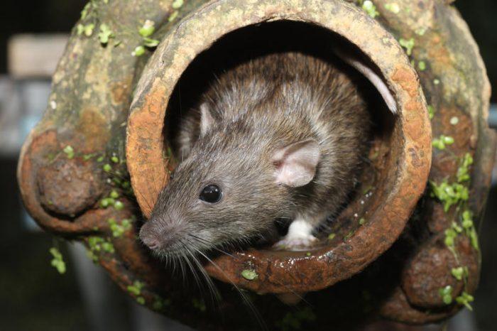 Интересные факты о крысе фото