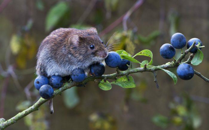 Интересные факты о мыши-полевке фото