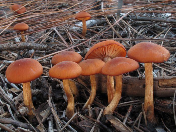 Калорийность гриба лаковица фото