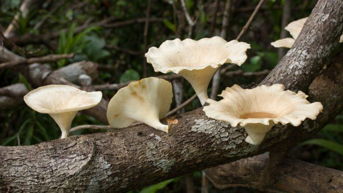 Калорийность гриба пилолистника фото