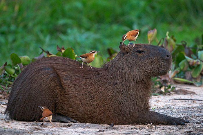 Капибара животное. Образ жизни и среда обитания капибара