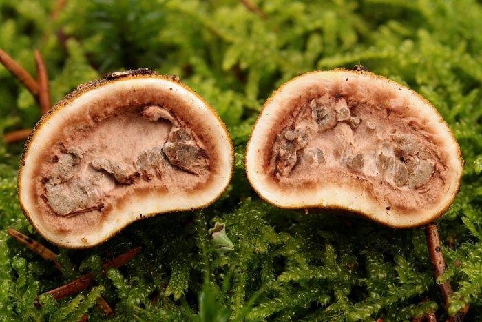 Характеристики гриба трюфель фото