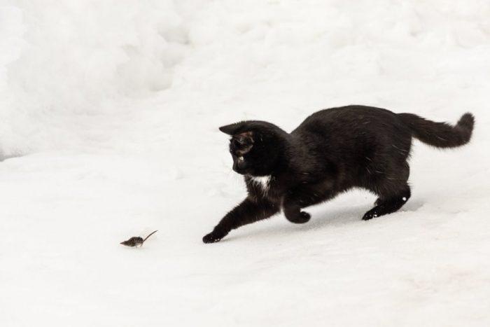 Естественные враги домовой мыши фото