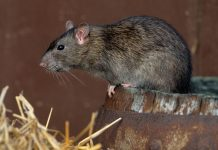 Крыса фото