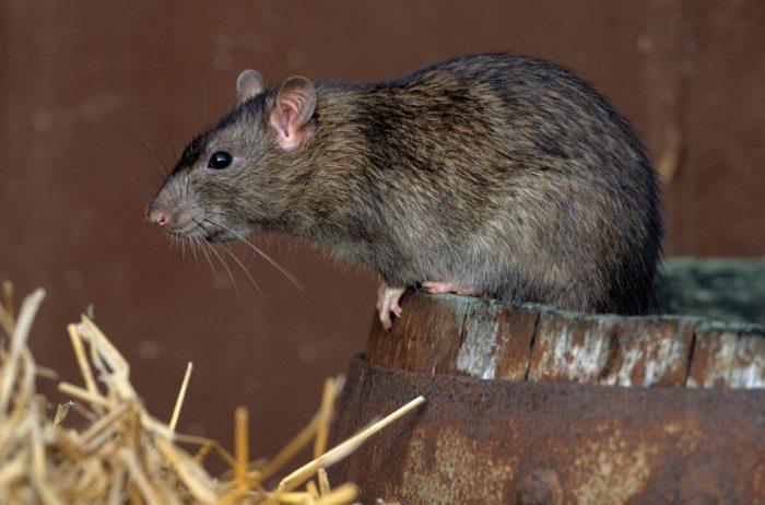 Крыса с длинным хвостом