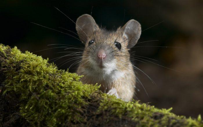 Описание домовой мыши фото