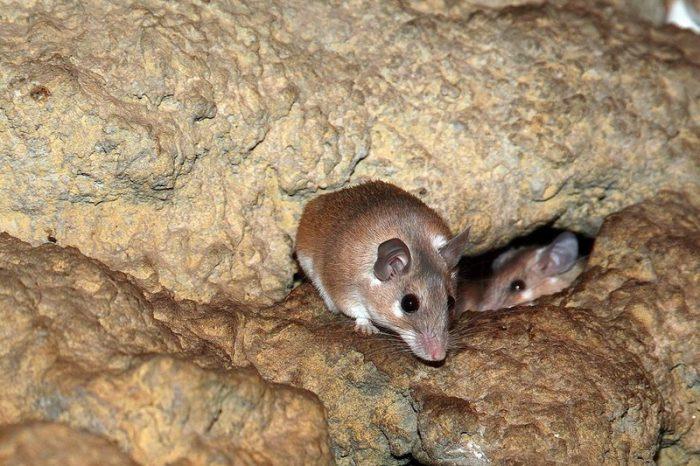 Описание иглистой мыши фото