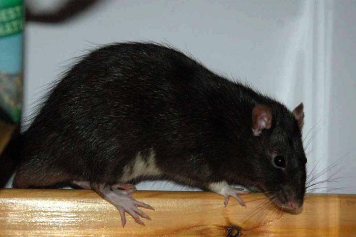 Описание крысы фото