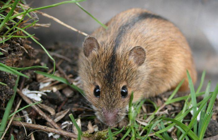 Описание полевой мыши фото