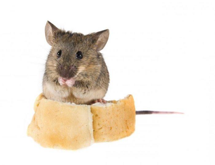Особенности питания домовой мыши фото