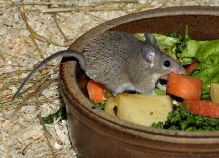 Особенности питания иглистой мыши фото
