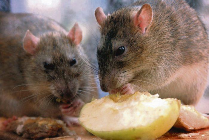 Особенности питания крысы фото