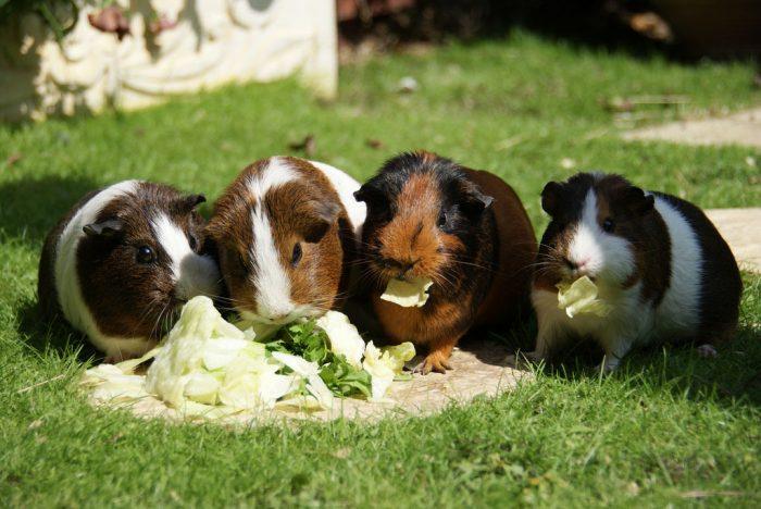 Особенности питания морской свинки фото