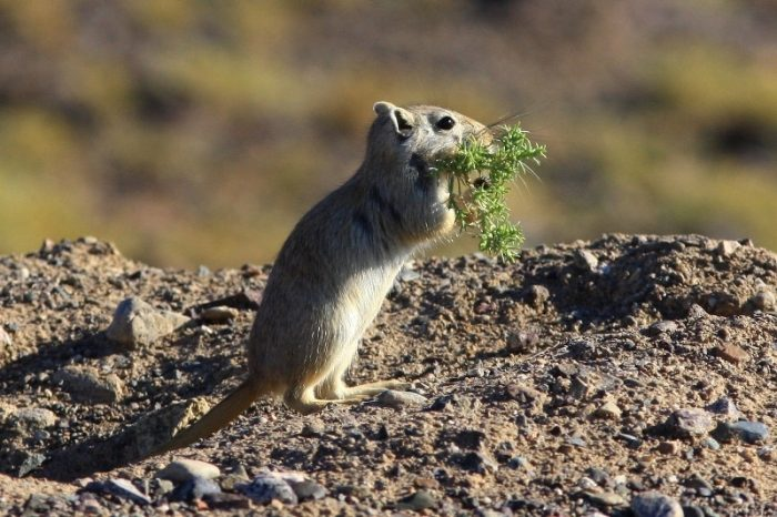 Особенности питания песчанки фото