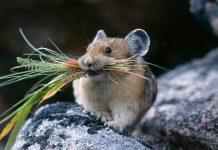 Полевая мышь, мышь-полевка фото