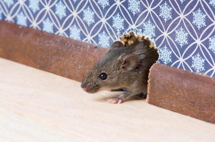 Поведение домовой мыши фото