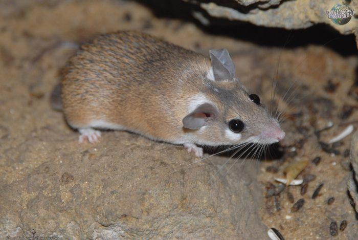 Поведение иглистой мыши фото
