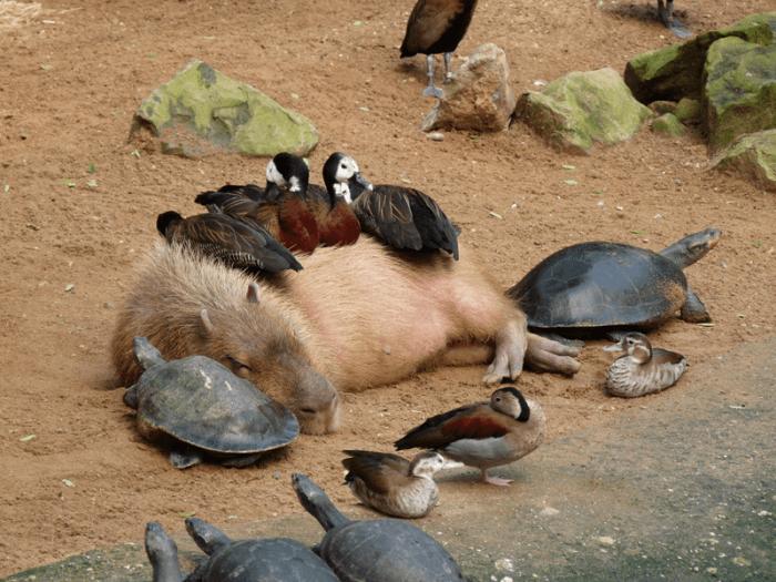 Поведение капибары фото