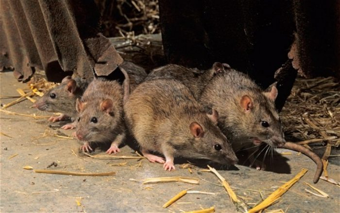 Поведение крысы фото