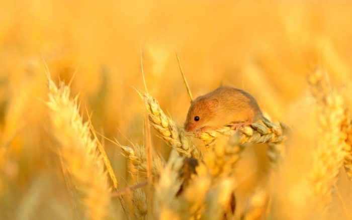 Поведение полевой мыши фото